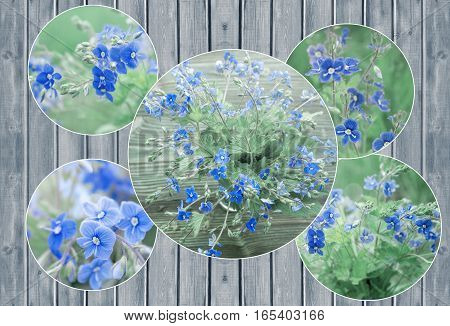 Collage of Bunch of wild forest tiny blue flowers on meadow. Veronica Germander, Speedwell flowers