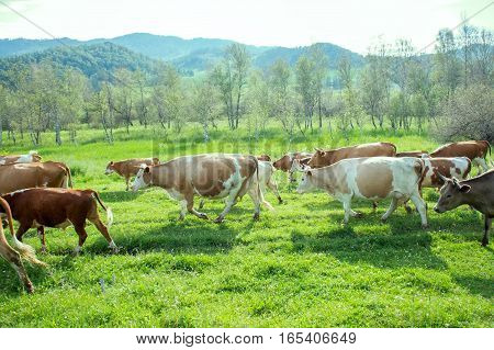 fat herd of cows in a mountainous area is on green grass. cattle from dairy region