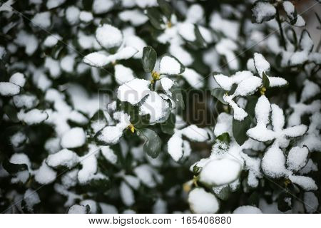 A detail of leafy bush covered with snow.