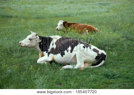 Cattle-breeding on Altai mountains. Cows on pasture much slacked. Close-up