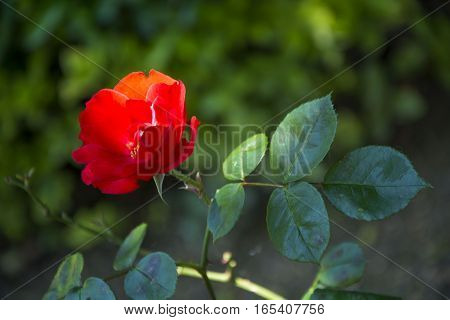 Photo of a red flower with green leaves, selective focus and sunlight