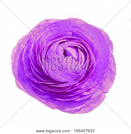 Violet Ranunculus Flower, Ranunculaceae Family. Genus Include The Buttercups, Spearworts, And Water
