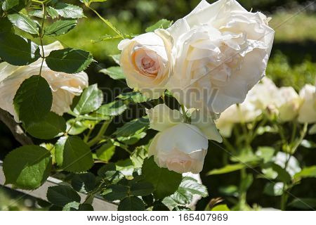 Photo of several flowers with green leaves, selective focus and sunlight