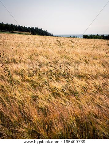 Ripe barley field in rural Prince Edward Island