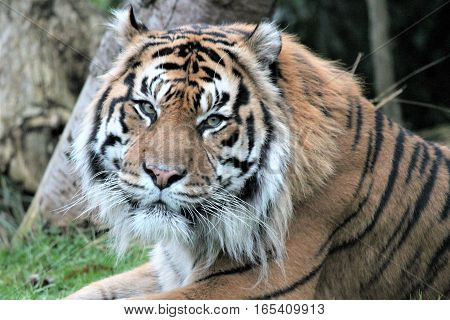 Sumatran Tiger rare and endagered tiger male adult