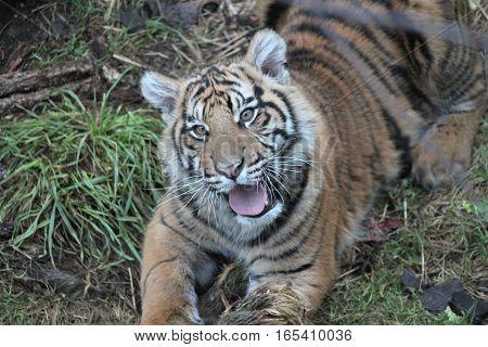Sumatran Tiger rare and endagered tiger cub