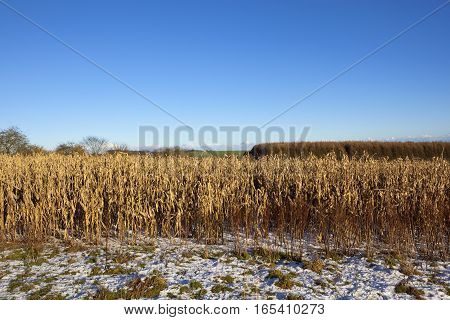 Golden Maize Plants