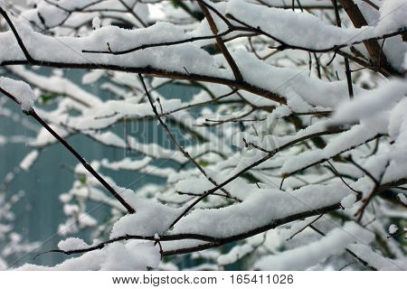 snow-covered branches of trees in the snow in winter