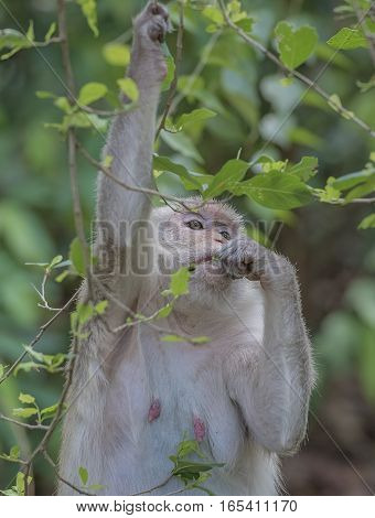 common  monkeys (Saimiri sciureus) playing on a tree branch.