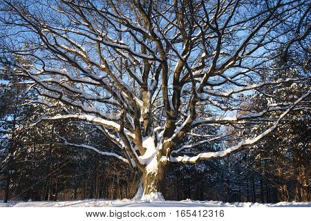Big spreading Oak with snow on branches in winter wood