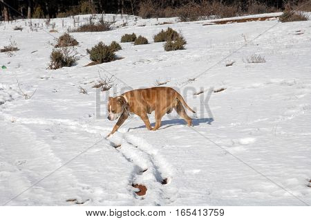 American Staffordshire Terrier On Snow