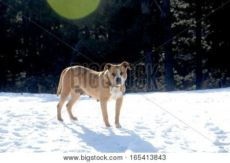 Picture of a American Staffordshire Terrier on snow