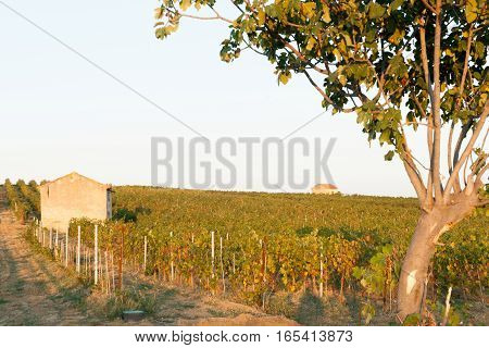 Evening sun catching vines and two vineyard sheds in vineyards  France