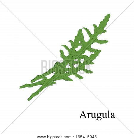 Vector Illustration Hand Drawn Fresh Green Arugula Leaves Isolated On White Background. Sketch Rucol
