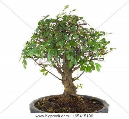 Small Japanese tree bonsai with many green leaves on branches in a pot isolated over white closeup