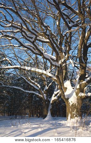 Spreading Oaks with snow on branches in winter wood vertical view