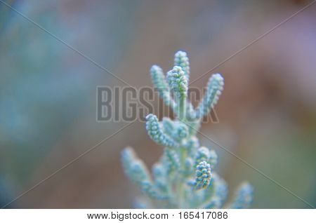 Cotton Lavender Santolina Chamaecyparissus Plant Background