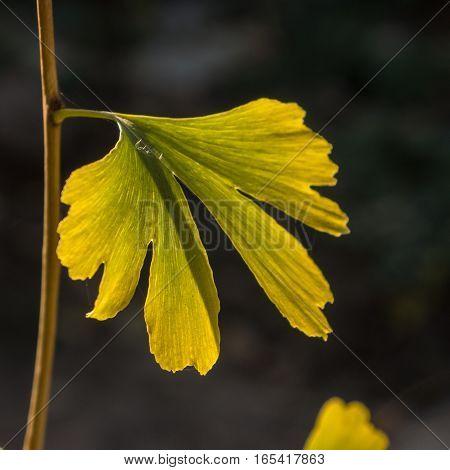 ginkgo biloba leaves in autumn garden on a sunny day