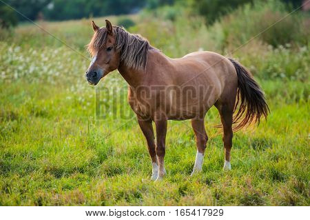 horse grazing in a meadow in summer countryside