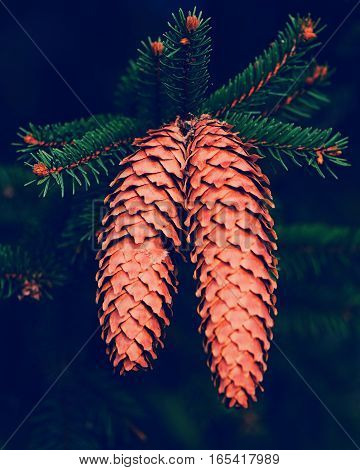 fir cones on a branch of a tree on a dark background