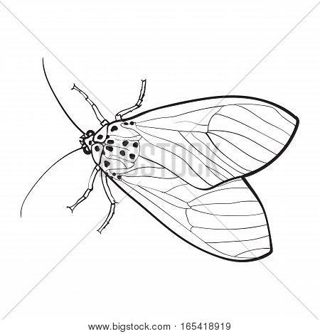 Top view of gray moth, sketch illustration isolated on white background. black and white hand drawing of moth butterfly insect on white background