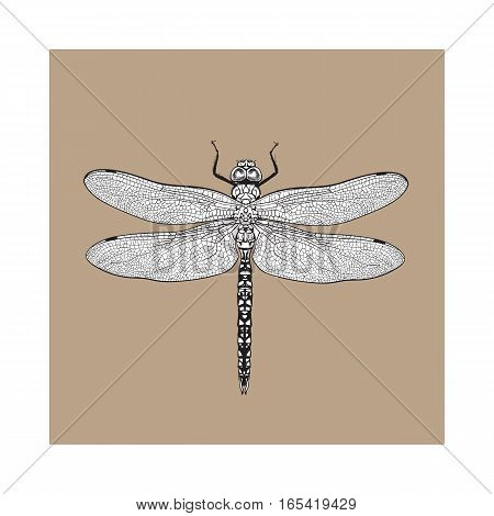 Top view of blue dragonfly with transparent wings, sketch illustration isolated on brown background. black and white Realistic hand drawing of dragonfly insect on white background