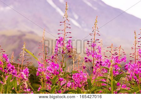 Field of blooming sally flowers Willowherb with mountains on background