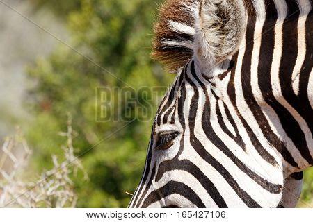 Eye Shot Of A Burchells Zebra