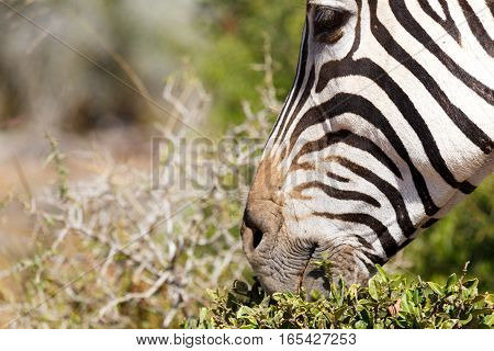 Close Up Of A Zebra Eye And Mouth