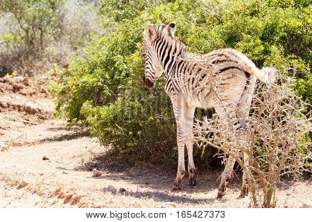 Baby Zebra Standing Next To The Bushes