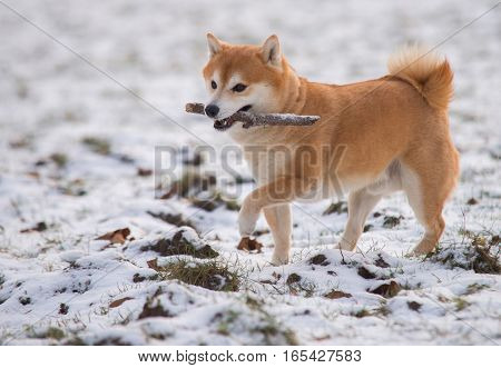 Red Shiba Inu Dog On The Snow