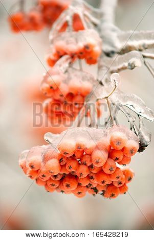 Frozen tree branch with red rowan bunch in winter forest closeup