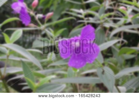 Malabar Melastome Blurred purple flower with dew background,Blurred green background,Blurred nature background