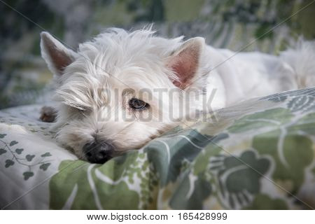 West highland terrier resting on a bed. Sad face.