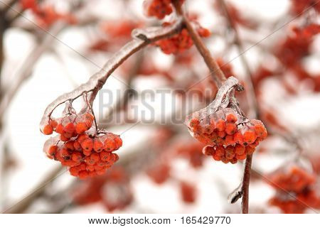 Frozen tree branch with rowan bunch in winter forest closeup