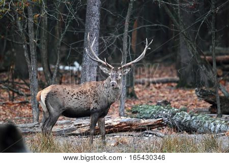 The Adult Male Deer With Huge Antlers