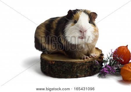 Happy guinea pig on a white background is the pet for children and adults