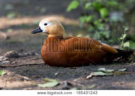 Portrait of duck Ogar he is sitting on the ground