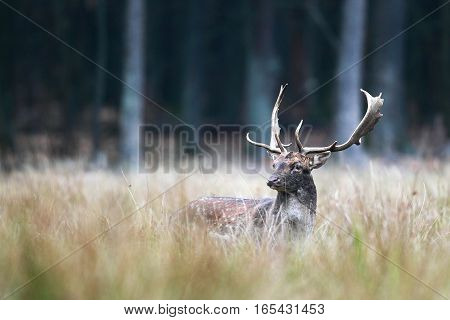 Beautiful Portrait Of Deer With Large Antlers In Tall Grass