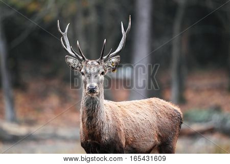 A Beautiful Portrait Of A Young Deer In The Autumn Forest