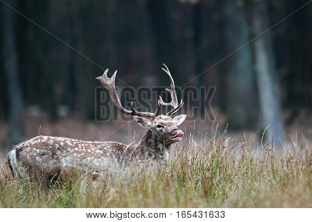 Behavior Of Male Deer During The Rut