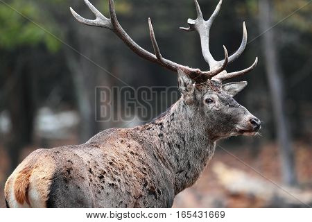 Portrait Of A Male Deer In The Autumn Forest With Very Large Horns