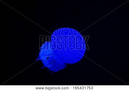 A glowing blue spotted jelly fish floats through dark water