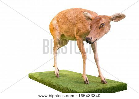 fawn standing on white background Isolated of deer animal wildlife