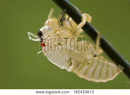 small ant walking on big exuvia cicada