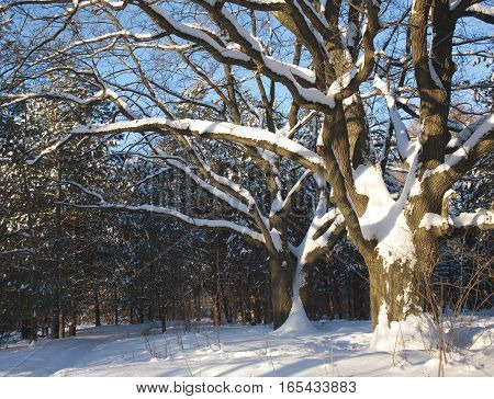 Spreading Oaks with snow on branches in winter wood