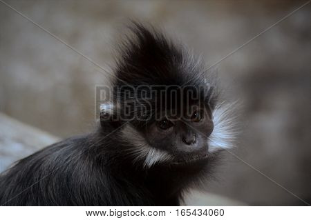 Close up of a Francois Langur Monkey