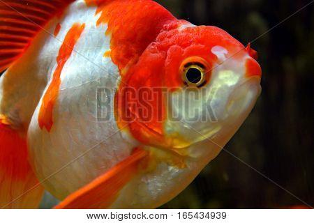 Grote rode vissen in het aquarium in het water