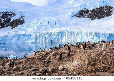 Rocky coastline overcrowded by gentoo pengins and glacier in the background at Neco bay Antarctic