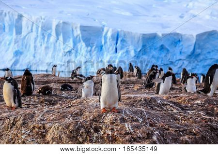 Gentoo penguin colony on the rocks and glacier in the background at Neco bay Antarctic